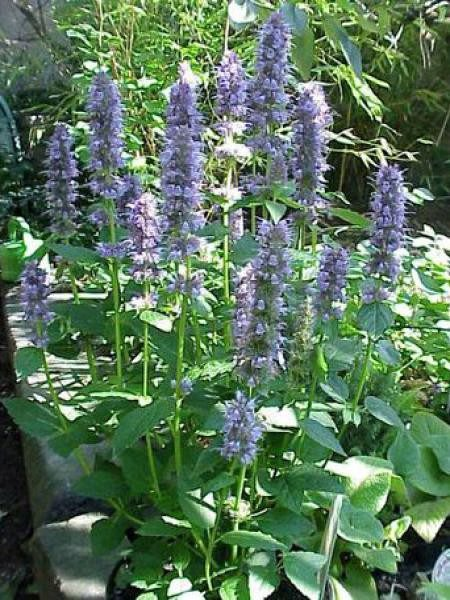 agastache-anis-hysope-