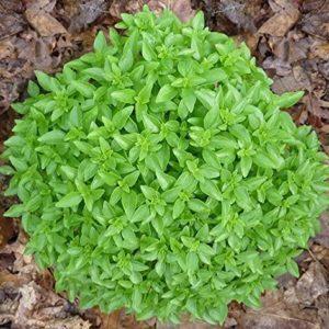 basilic green globe