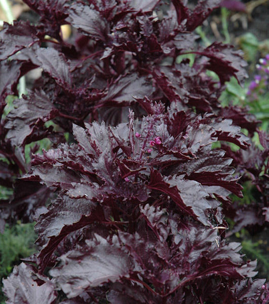 basilic rouge purple ruffles