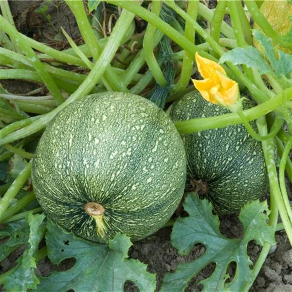 courgette-de-nice-a-fruit-rond.net