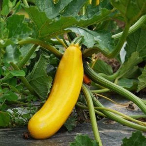 courgette-gold-rush-
