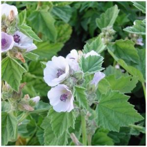 guimauve-officinale-althaea-officinalis-pot-de-15l-diametre-15cm-P-1849134-3996130_1