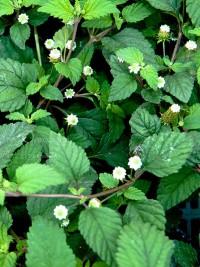 plante-a-sucre-des-azteques