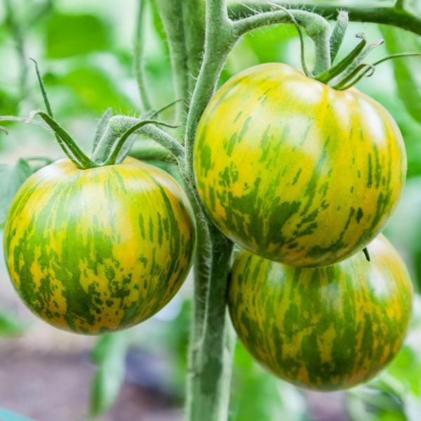 tomate-green-zebra-