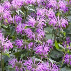 monarde menthifolia