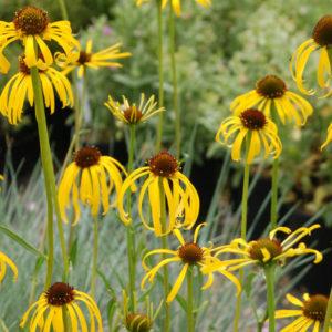 Echinacea-paradoxa-Yellow-Coneflower2