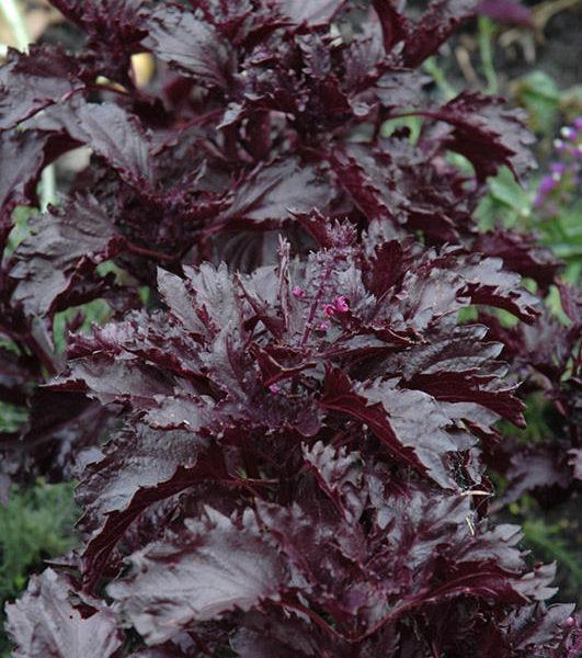 basilic rouge purple ruffles