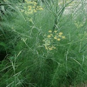 fenouil officinale