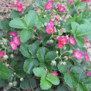 fraise-4 saisons