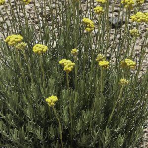 helichrysum-italicum-subsp.-italicum-photo1