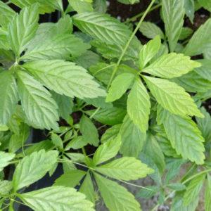 jiaogulan-semillas