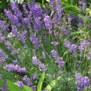 lavande-maillette-lavandula-angustifolia