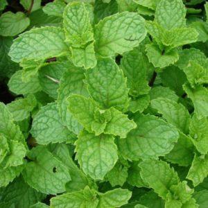 menthe-nanah-dite-douce-bio-feuilles-entières-50g-tisane-de-mentha-spicata-var-nanah