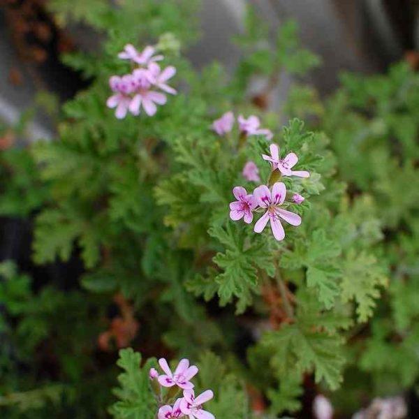 pelargonium_graveolens_-_geranium_rosat_odorant_-_fleurs