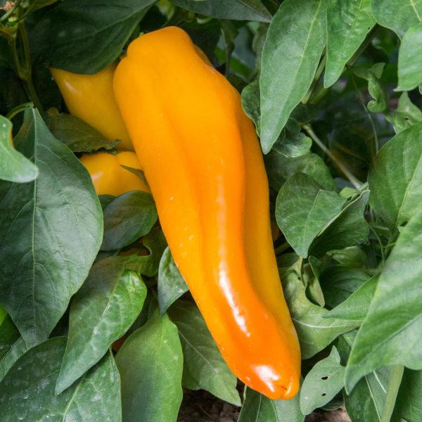 poivron yellow marconi