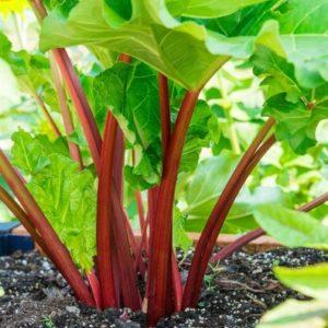 rhubarbe-rouge