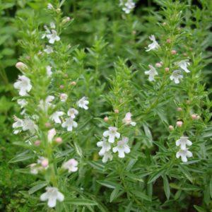 sarriette-des-montagnes-satureja-montana-fam-labiees-visoflora-80862