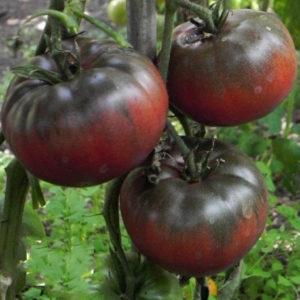 tomate-noire-black prince-